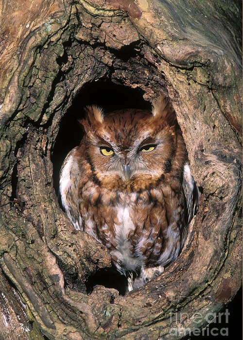 Red Greeting Card featuring the photograph Eastern Screech Owl - Fs000810 by Daniel Dempster