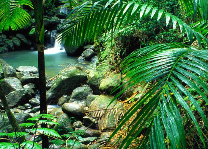 Puerto Rico Greeting Card featuring the photograph El Yunque Palm Trees And Waterfall by Thomas R Fletcher