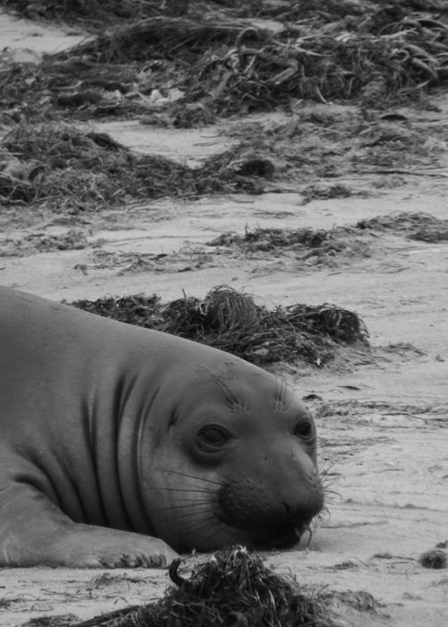 Elephant Seal Greeting Card featuring the photograph Elephant Seal Conteplation by Gwendolyn Barnhart