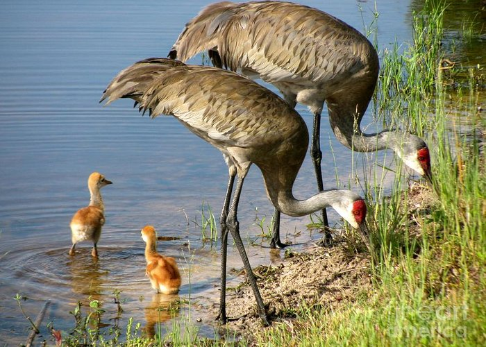 Sandhill Cranes With Chicks Greeting Card featuring the photograph Enjoying The Water by Zina Stromberg