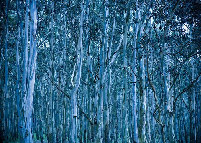 Eucalyptus Greeting Card featuring the photograph Eucalyptus Forest by Frank Tschakert