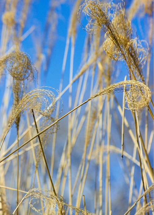 Growth; Fragility; Grass; Meadow; No People; Vertical; Outdoors; Day; Close-up; Focus On Foreground; Nature; Eulalia Grass Greeting Card featuring the photograph Eulalia Grass Native To East Asia by Anonymous