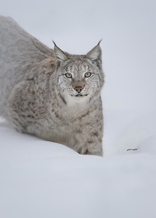 Animal Greeting Card featuring the photograph Eurasian Lynx by Andy Astbury