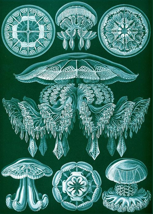 Zoology Greeting Card featuring the drawing Examples Of Discomedusae by Ernst Haeckel