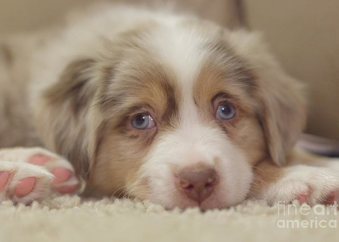 Australian Shepherd Greeting Card featuring the photograph Exhausting Being A Puppy by Kay Pickens
