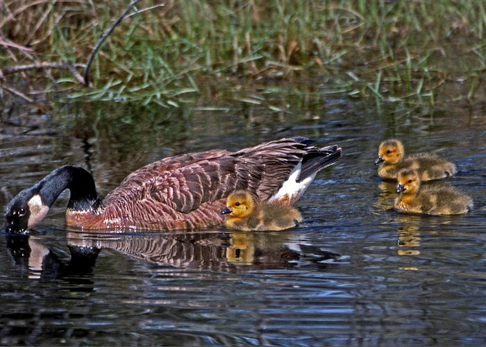 Goose Greeting Card featuring the photograph Family Affair by Skip Willits