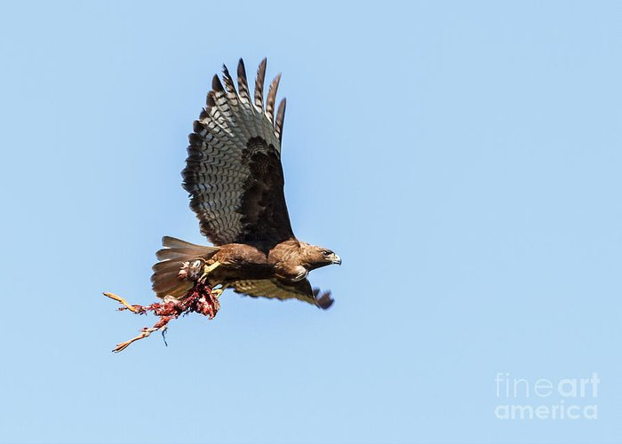 Buteo Jamaicensis Greeting Card featuring the photograph Female Red-tailed Hawk In Flight by Carl Jackson