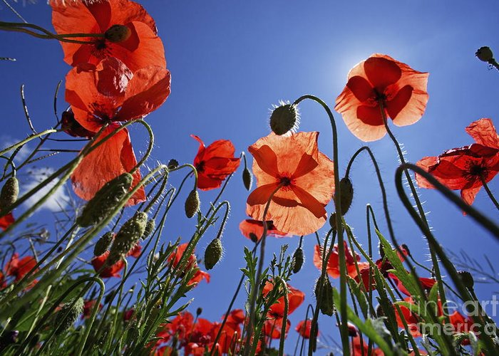 Tranquil Scene Greeting Card featuring the photograph Field Of Poppies At Spring by Sami Sarkis