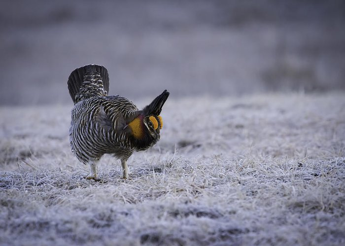 Prairie Chicken Greeting Card featuring the photograph First Light 2 by Thomas Young