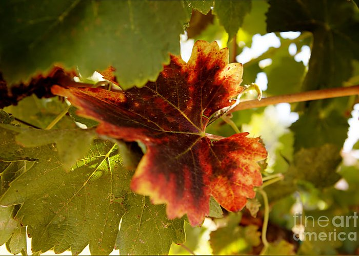 Grapevine Greeting Card featuring the photograph First Signs Of Autumn by Dry Leaf