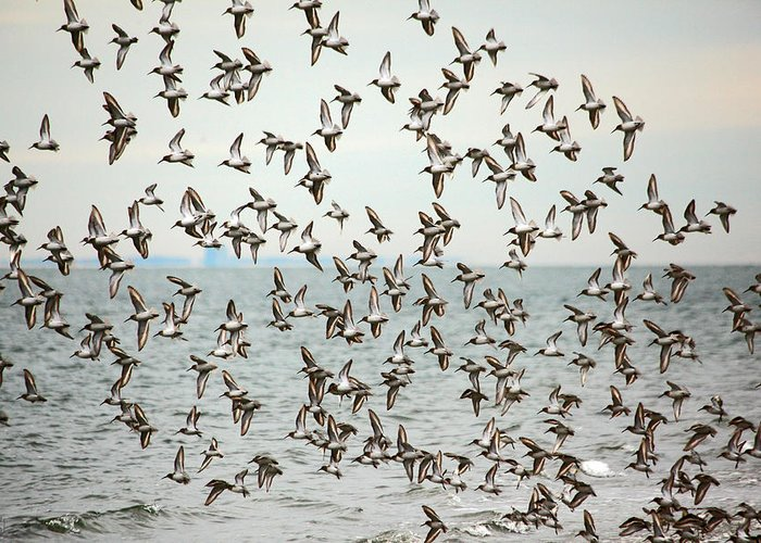 Birds Greeting Card featuring the photograph Flock Of Dunlin by Karol Livote
