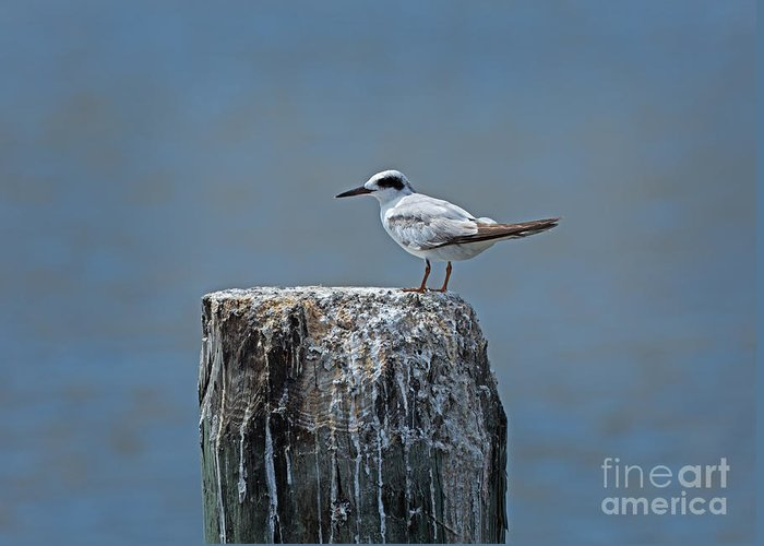 Forster's Tern Greeting Card featuring the photograph Forster's Tern by Louise Heusinkveld