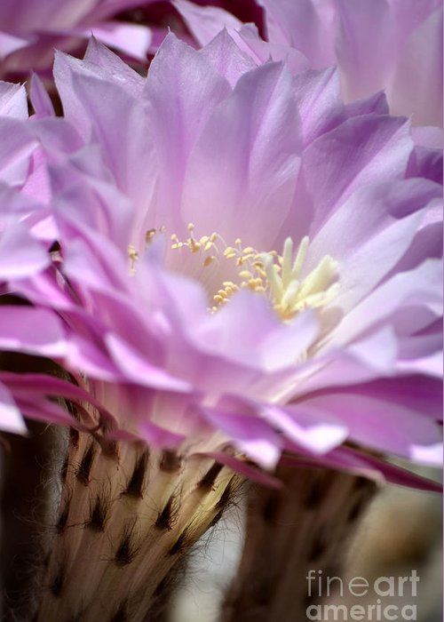 Cactus Flowers Greeting Card featuring the photograph Fragile Beauty by Deb Halloran