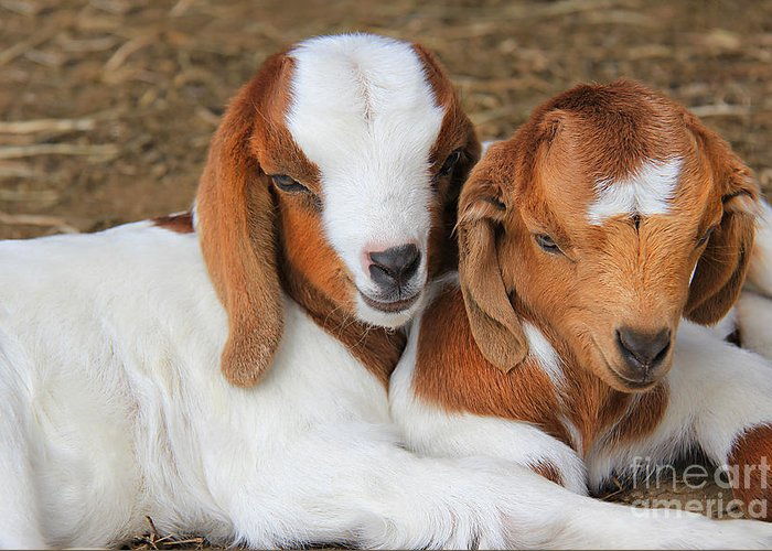 Goat Greeting Card featuring the photograph Friends Forever by Leslie Kirk