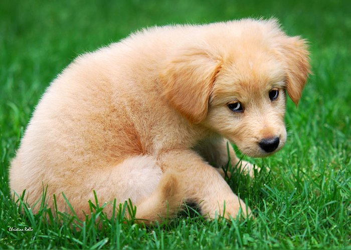 Puppy Greeting Card featuring the photograph Fuzzy Golden Puppy by Christina Rollo