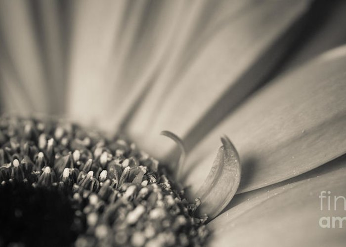 2x1 Greeting Card featuring the photograph Gerbera Blossom - Bw by Hannes Cmarits