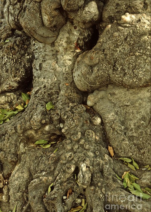 Tree Bark Greeting Card featuring the photograph Gnarled Haitian Tree Trunk by Anna Lisa Yoder