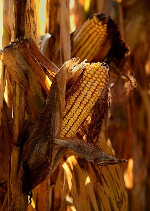 Corn Greeting Card featuring the photograph Golden Harvest by Charlene Palmer