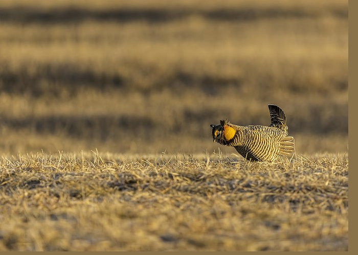 Prairie Chicken Greeting Card featuring the photograph Golden Light On The Prairie by Thomas Young