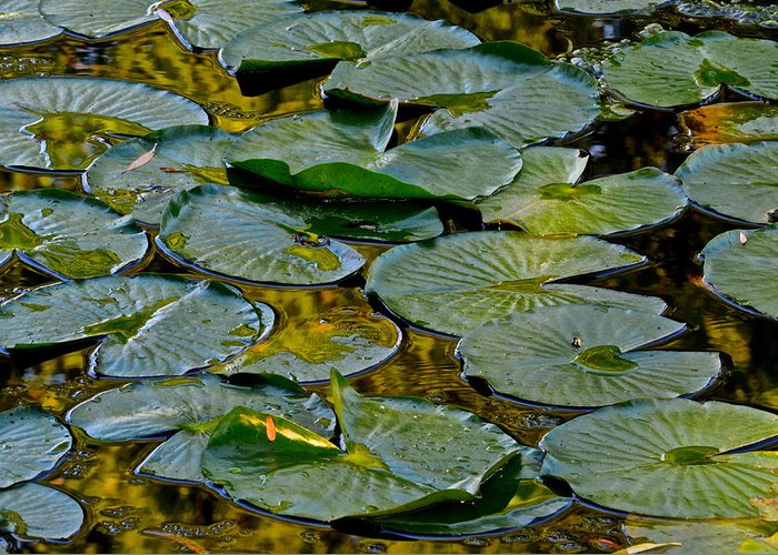 Lilly Pads Greeting Card featuring the photograph Golden Lilly Pads by Frozen in Time Fine Art Photography
