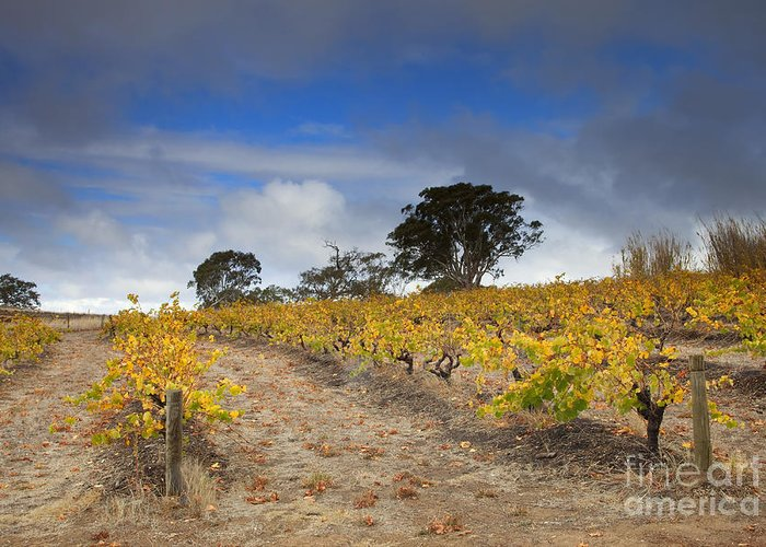 Golden Greeting Card featuring the photograph Golden Vines by Mike Dawson