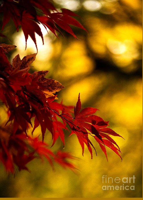 Acer Greeting Card featuring the photograph Graceful Leaves by Mike Reid