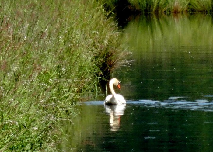 Steigerwald National Wildlife Refuge Greeting Card featuring the photograph Graceful Swan by Lizbeth Bostrom