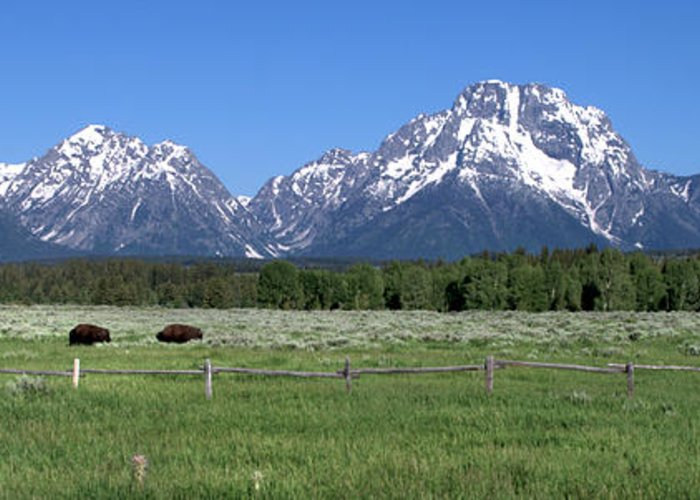 Buffalo Grazing At The Foot Of The Tetons Mountains Landscape In Grand Teton National Park Wyoming Greeting Card featuring the photograph Grand Teton Buffalo by Brian Harig