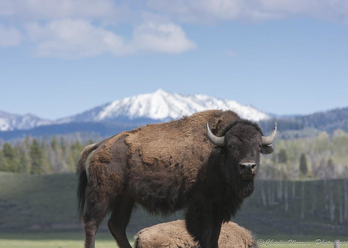 Bison Greeting Card featuring the photograph Grand Tetons Bison by Charles Warren