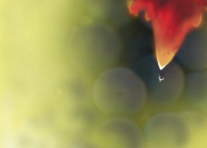 Grape Greeting Card featuring the photograph Grape Leaf Water Drop by Kume Bryant
