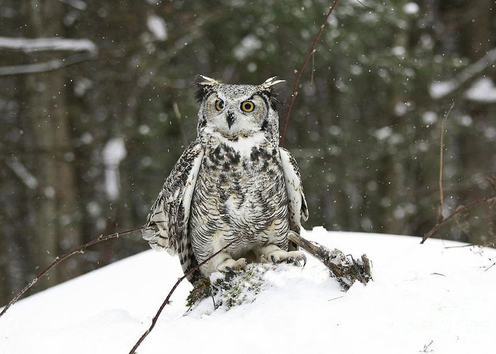 Great Horned Owl In A Winter Snow Storm Greeting Card featuring the photograph Great Horned Owl In A Winter Snow Storm by Inspired Nature Photography Fine Art Photography