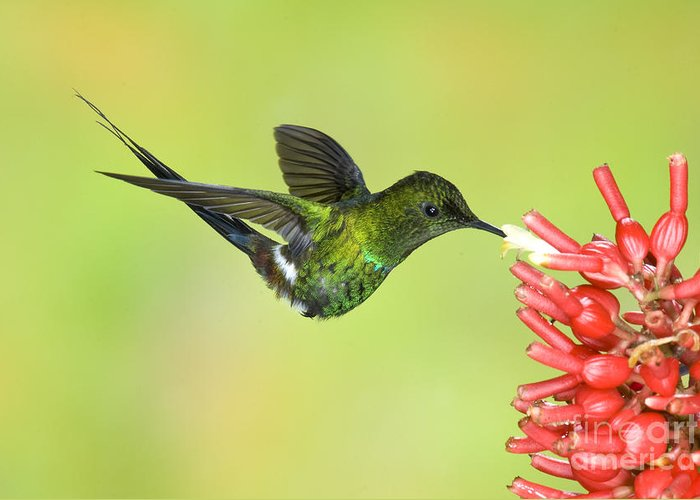 Animal Greeting Card featuring the photograph Green Thorntail Hummingbird by Anthony Mercieca