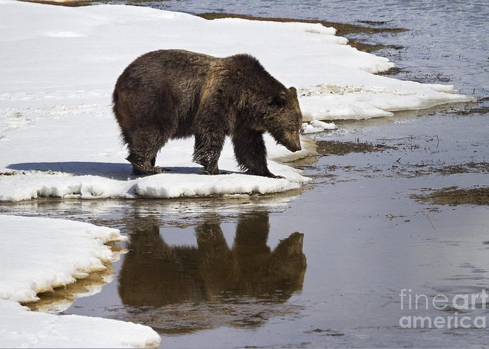 Adult Greeting Card featuring the photograph Grizzly Bear Reflected In Water by Mike Cavaroc