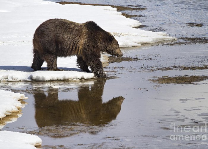 Adult Greeting Card featuring the photograph Grizzly Bear Stepping Into Water by Mike Cavaroc