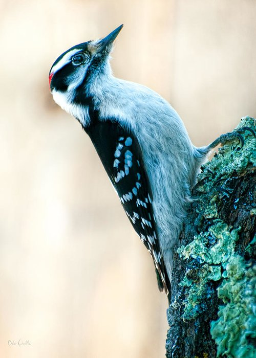Hairy Woodpecker Greeting Card featuring the photograph Hairy Woodpecker by Bob Orsillo