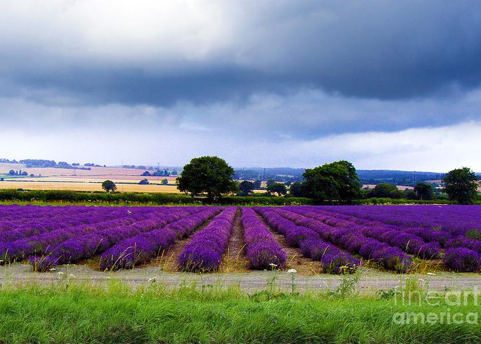 Lavender Field Greeting Card featuring the photograph Hampshire Lavender Field by Terri Waters