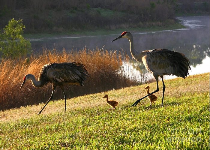 Sandhill Cranes Greeting Card featuring the photograph Happy Sandhill Crane Family by Carol Groenen
