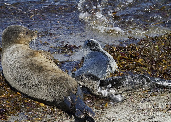 Harbor Seal Greeting Card featuring the photograph Harbor Seal Nursing by George Oze