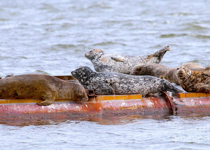 Harbour Seals Greeting Card featuring the photograph Harbour Seals Lounging by Sharon Talson
