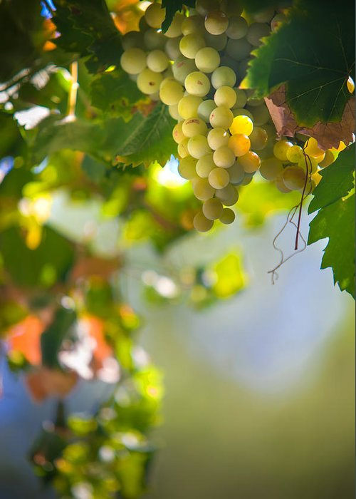 Grape Greeting Card featuring the photograph Harvest Time. Sunny Grapes V by Jenny Rainbow
