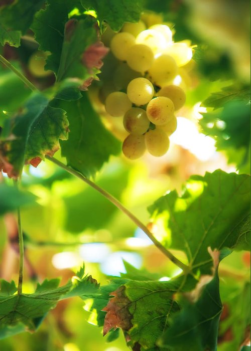 Grape Greeting Card featuring the photograph Harvest Time. Sunny Grapes Vii by Jenny Rainbow