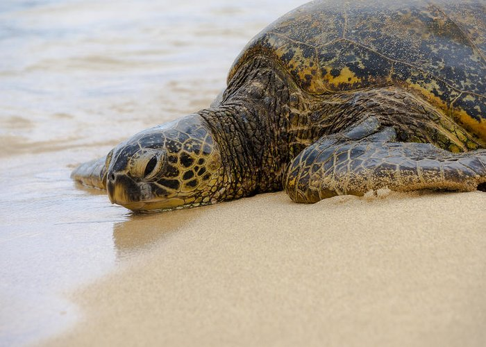 Endangered Hawaiian Green Sea Turtles Of Turtle Beach Oahu Hawaii Greeting Card featuring the photograph Hawaiian Green Sea Turtle 3 by Brian Harig