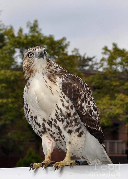 Hawk Greeting Card featuring the photograph Hawk by Luke Moore