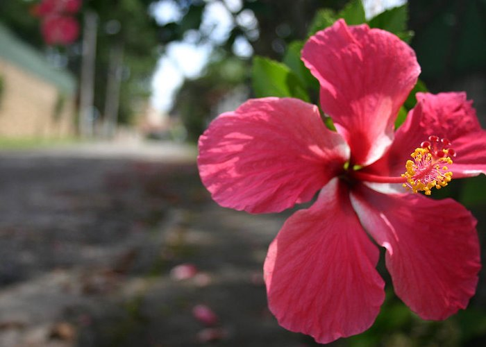 Hibiscus Greeting Card featuring the photograph Hibiscus by Frederico Borges