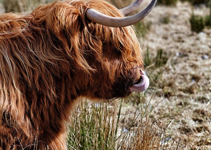 Highland Cow Greeting Card featuring the photograph Highland Coo With Tongue In Nose by John Farnan