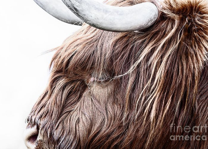 Highland Cow Scotland Greeting Card featuring the photograph Highland Cow Color by John Farnan