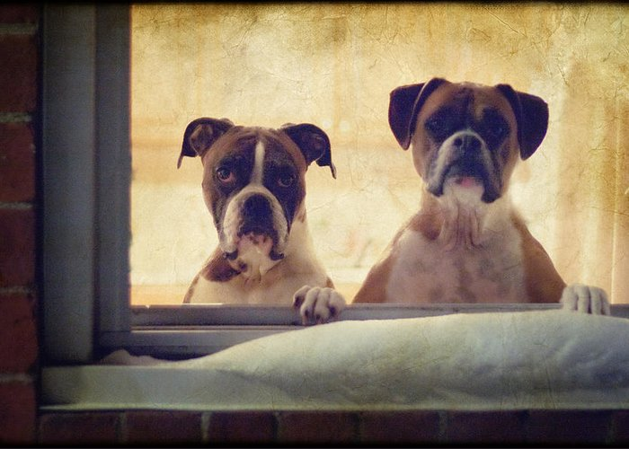 Boxer Greeting Card featuring the photograph How Much Is That Doggie In The Window? by Stephanie McDowell
