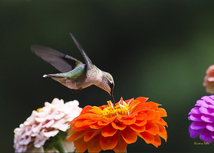 Hummingbird Greeting Card featuring the photograph Hummingbird In Flight With Orange Zinnia Flower by Christina Rollo