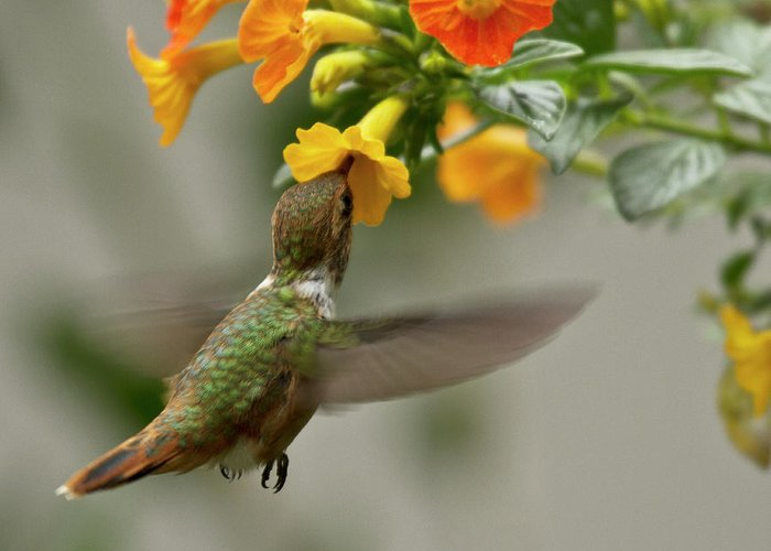 Rufous Hummingbird Greeting Card featuring the photograph Hummingbird Sips Nectar by Heiko Koehrer-Wagner