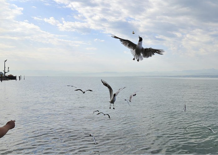 Seagulls Greeting Card featuring the photograph Hungry Seagulls Flying In The Air by Matthias Hauser